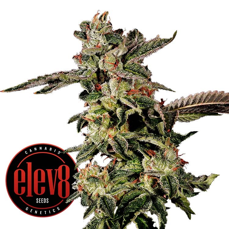 Giscotti by Elev8 Seeds